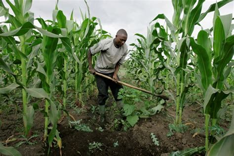 Maize Farming In Nigeria: Amazing Way To Make Your First