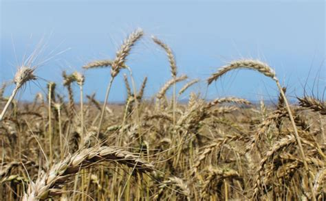 Wheat production gets boost in Zimbabwe