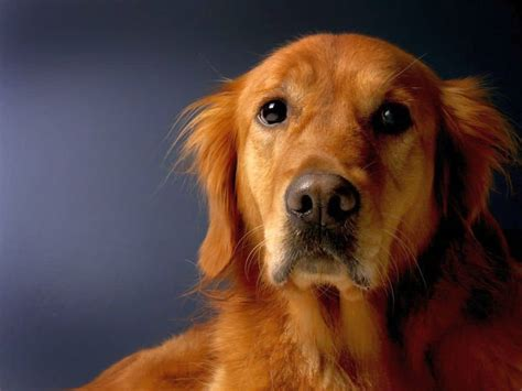 7 Ways to Manage Golden Retriever Shedding | Canine Weekly