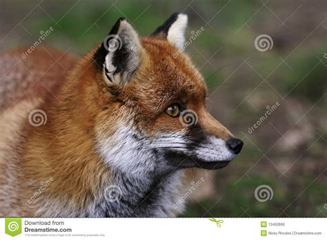 Head of a Red Fox stock photo
