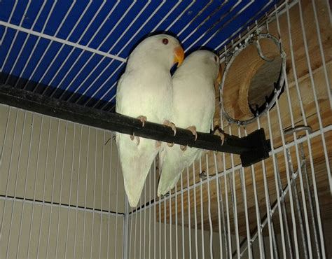 Pets Pakistan - Albino Personata (Red Eyes) Pair available