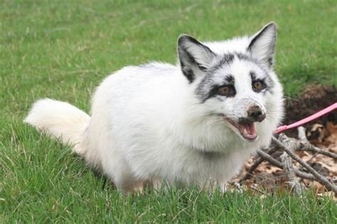 12 Pictures of Canadian Marble Foxes - HubPages