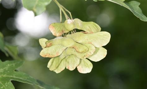 Which Trees Do Helicopter Seeds Grow On? - Woodland Trust