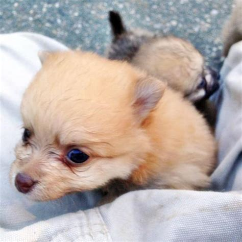 charming & cute mini pomeranian puppies for sale in