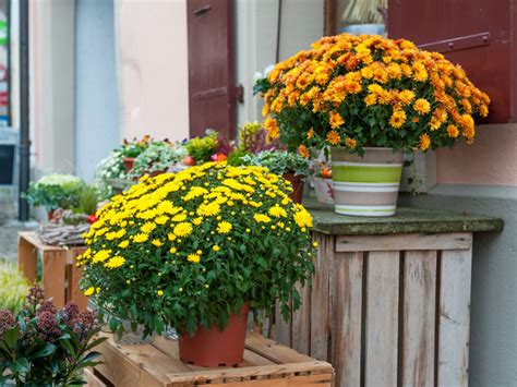 Your Potted Chrysanthemum in- & outdoors | The joy of plants