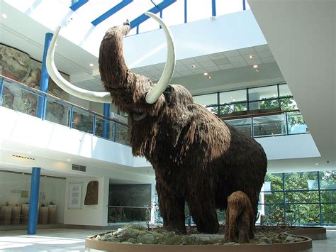 Picture 4 of 6 - Woolly Mammoth (Mammuthus Primigenius