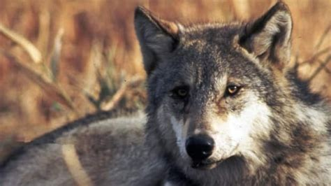 Bounties on wolves and coyotes slammed as 'inhumane' by