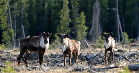 BC allows destruction of caribou habitat to the point of