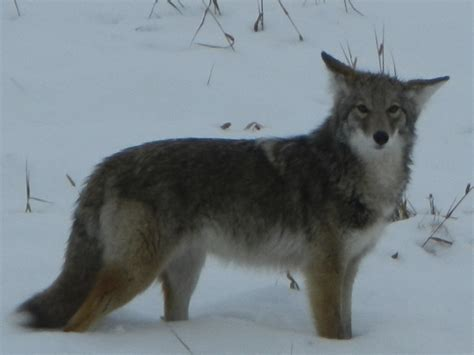 Photograph of Baby Grey Wolf | Photography | Images | Picture
