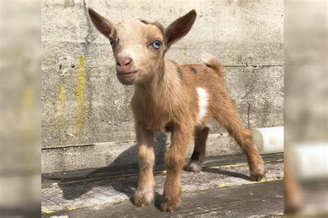 Cuddly baby goat stolen from BC farm during snuggle