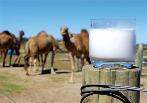 Camel milk to be the next big dairy alternative | SBS Your