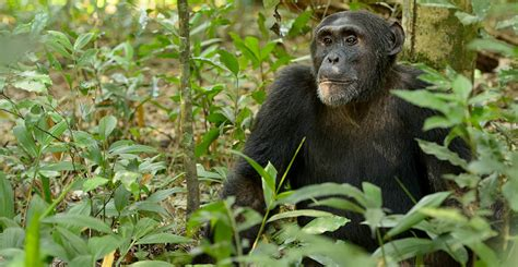 Chimpanzees are at risk of being eaten into extinction