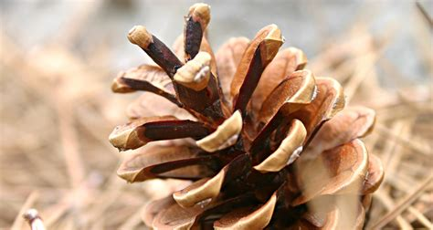 Pine Cones, Hedge Apples, and Other Unusual Winter Weather