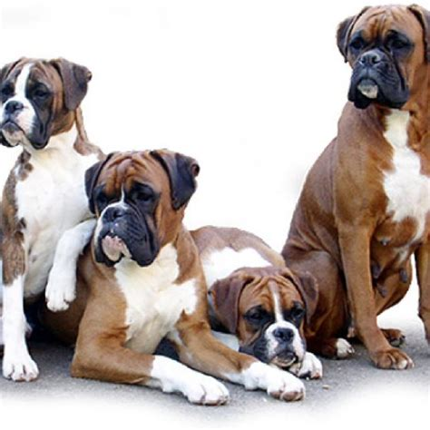 1134 best #Boxer Breed images on Pinterest   Doggies