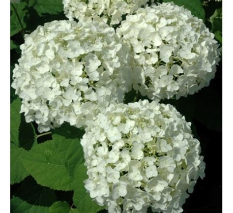 Buy Hydrangea White online at cheap price - India's
