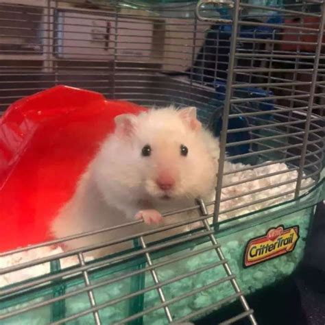 Hamster - Mouse Hamsters Rats - Buy and Sell Pets in