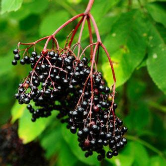 How to Grow and Use Elderberry Plants - Of Mice and