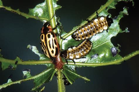 Integrated pest management: Scouting report - GCMOnline