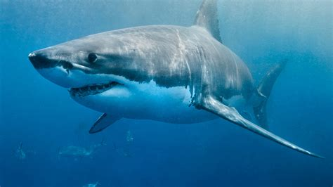 Great white shark Cabot 'on the move' off Delaware