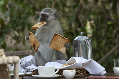 Cheeky monkey! Moment hungry primate makes off with family