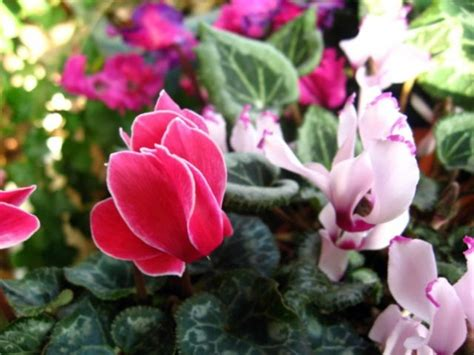Green house plants – flowering, easy care potted plants