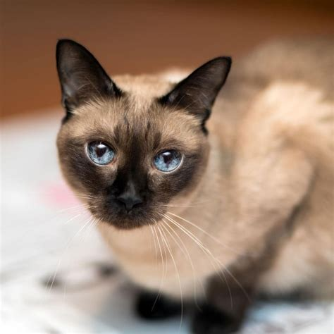 Siamese - Cat - Buy and Sell Pets in Lahore, Pakistan