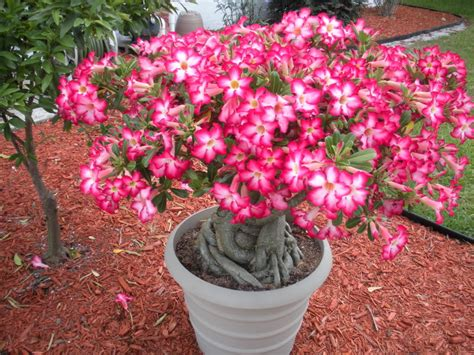 Desert Rose Plant: List of Types with Care Instructions