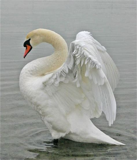 Beautiful Pictures of Swans - Barnorama