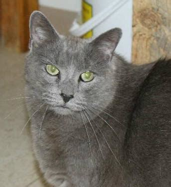 Russian Blue - Gizmo - Large - Adult - Male - Cat for Sale