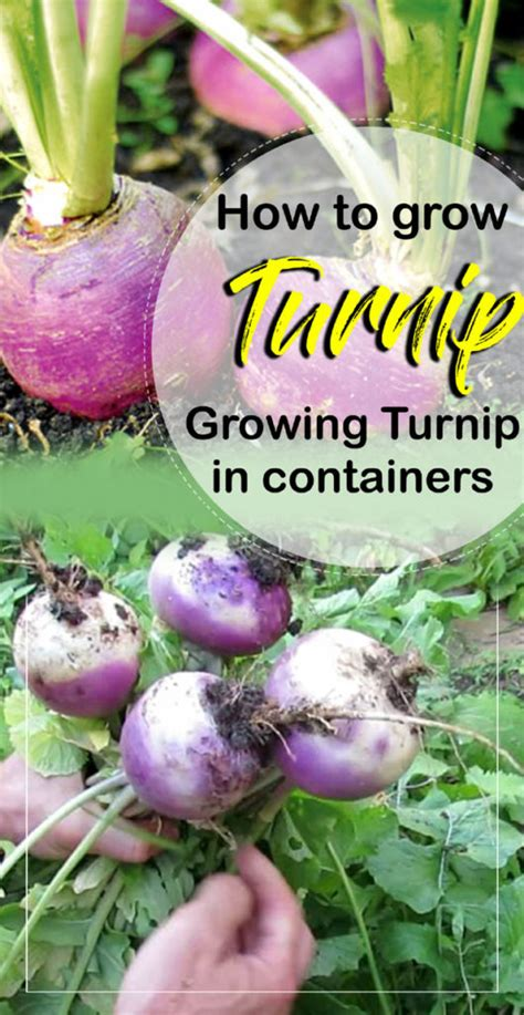 How to grow Turnip | Growing Turnips in containers