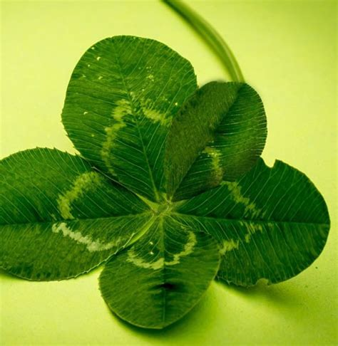 Five Leaf Clover Meaning on Whats-Your-Sign