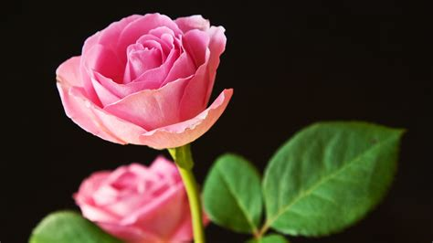 Best Pink Roses Wallpapers | HD Wallpapers | ID #10844