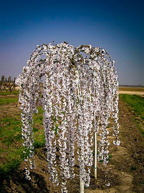 Snow Fountains® Weeping Cherry Trees For Sale   The Tree