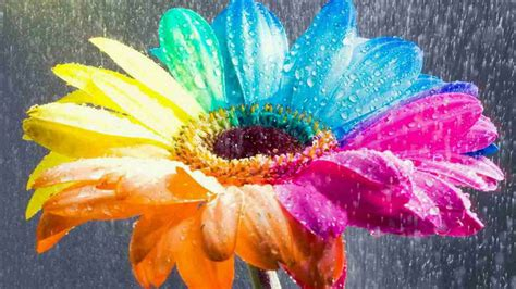 Colorful Sunflower During Raining HD Flowers Wallpapers