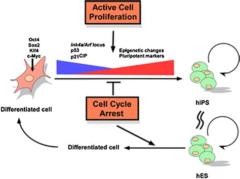 A High Proliferation Rate Is Required for Cell