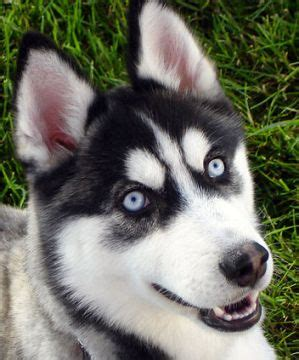 9 Things You Need to Know About The Alaskan Husky - Animalso