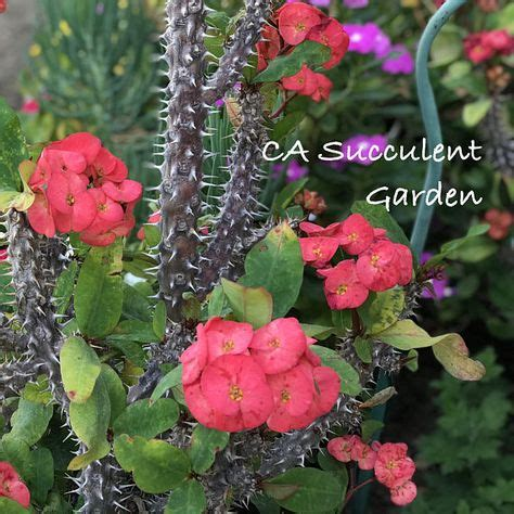 Euphorbia milii, commonly known as Crown of Thorns, is an