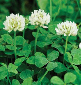 Clover Dream Meaning and Interpretations - Dream Stop